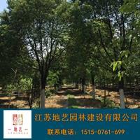香樟樹產地 江蘇地藝園林苗圃基地 江蘇香樟價格 香樟樹