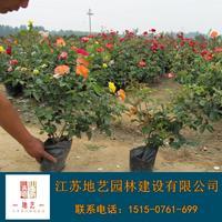 地藝苗圃大量供應紅花月季 紅花月季基地 紅花月季價格