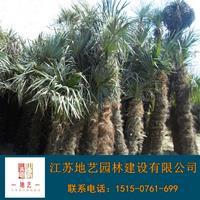 地艺苗圃大量供应棕榈 江苏棕榈基地 江苏棕榈价格