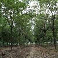 """皂角树正逐渐受园林绿化工程的""""恩宠"""""""