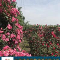 地藝苗圃大量供應紅花薔薇 紅花薔薇基地 紅花薔薇價格