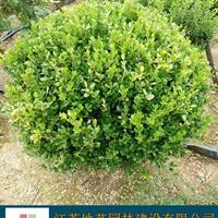 地艺苗圃大量供应小叶黄杨球 瓜子黄杨球基地 小叶黄杨球价格