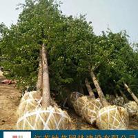 江蘇銀杏樹價格 江蘇銀杏價格 江蘇地藝園林苗圃