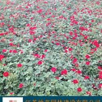 紅花月季 大花月結 地藝苗圃大量供應品種月季 月季基地