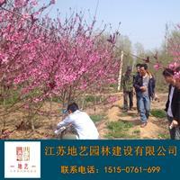 地艺苗圃大量供应红叶桃 红叶桃基地 江苏红叶桃价格
