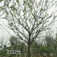 全冠30公分樸樹
