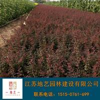 红叶小檗苗、红叶小檗小苗、江苏地艺园林红叶小檗