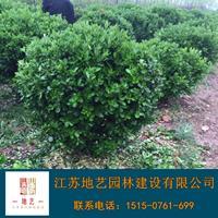 大叶黄杨球基地、大叶黄杨球产地、江苏地艺园林大叶黄杨球