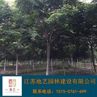 栾树基地、栾树产地、江苏地艺园林栾树