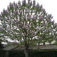 江苏常年供应规格8公分~18公分泡桐树