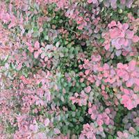 大量供應紅葉女貞,供應紫葉小檗苗,出售紅葉小檗報價