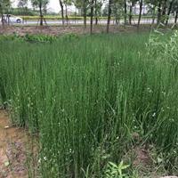 木贼,溪荪,紫芋大量供应