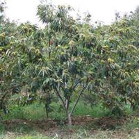 江苏常年供应规格10公分~20公分板栗树  板栗树价格