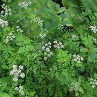 水芹,荇菜,水毛花(水芼花)大量水生植物批发