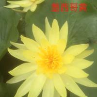 品种睡莲绚丽,墨西哥黄,日出大量出售