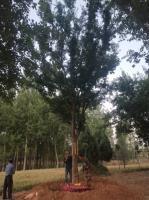 供應30公分移栽精品樸樹