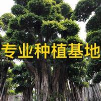 小叶榕价格 造型榕树盆景 造型小叶榕桩景 小叶榕报价