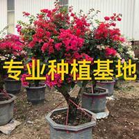 三角梅 勒杜鹃 九重葛 叶子花