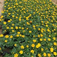 供应矮牵牛,三色堇,夏堇,孔雀草,一串红,四季海棠等时令花卉