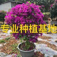 造型三角梅价格 勒杜鹃球 九重葛柱 叶子花盆景