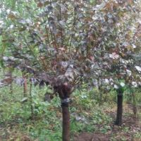 6公分榆叶梅还是到沭阳苗木基地