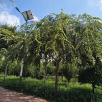 山東地區采購10-12公分樸樹去哪里