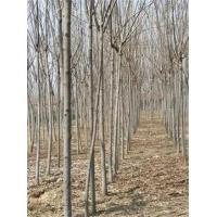 栾树基地=7公分8公分9公分栾树大量销售质量有保证