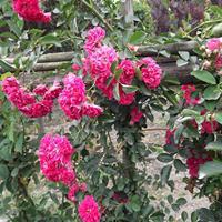 江苏50公分-80公分高红花蔷薇价格