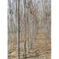 4公分栾树价格/黄山栾树价格/栾树图片