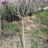 基地苗木-4,5,6公分櫻花規格齊全/價格優惠