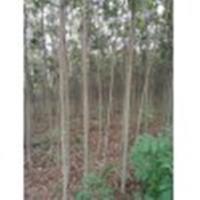 介绍8公分-10公分栾树介绍价格情况
