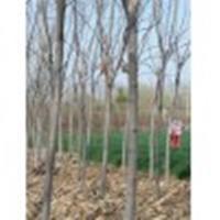 江苏7公分,8公分,9公分,10公分栾树今年秋季报价