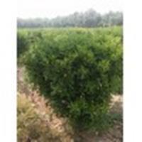 冠幅1.3米1.5米大叶黄杨球沭阳专业销售