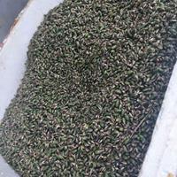 供应大量精品方竹种子