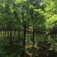 安徽肥西供應15香樟