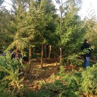 江西柳杉价格便宜九江柳杉价格走势 那里有便宜的柳杉批发