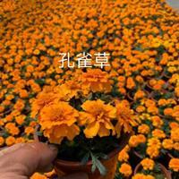 江蘇常州供應大量孔雀草