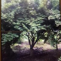 處理18,19公分雞爪槭