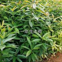 九江造林苗一年生木荷批发处理便宜 九江木荷一年生木荷批发处理