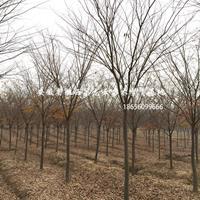 安徽櫸樹-肥西櫸樹基地-櫸樹價格-櫸樹3-15公分供應