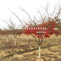 安徽鸡爪槭-肥西鸡爪槭基地-鸡爪槭价格