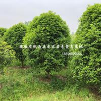 安徽桂花-肥西桂花基地-桂花价格-冠幅1.5-5米出售