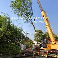 安徽肥西三角楓 烏桕 黃連木 重陽木 樸樹 榔榆 優質供應商