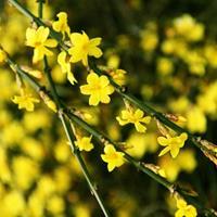 供应绿化工程苗40-50-60公分高2-3分枝迎春花价格