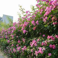 出售大花蔷薇50公分-60公分高江苏蔷薇基地价格