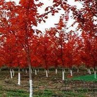 1米高-1.5米美国红枫产地大量供应