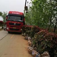 红叶石楠培育直销1米、1.2米、1.5米冠幅红叶石楠球价格