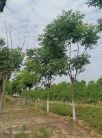 安徽供應苗圃欒樹