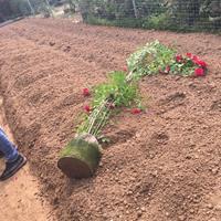 农民种植红花蔷薇价格50公分-60公分高红花蔷薇价格