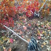 1米美国红枫价格1.5米高美国红枫价格